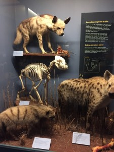Field Museum Hyena Taxidermy