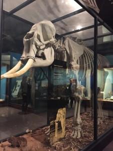 Field Museum Elephant Skeleton