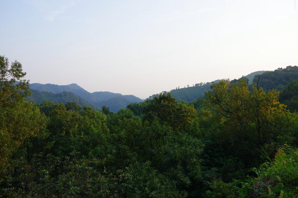 hangzhou-hills-dragonwell-tea
