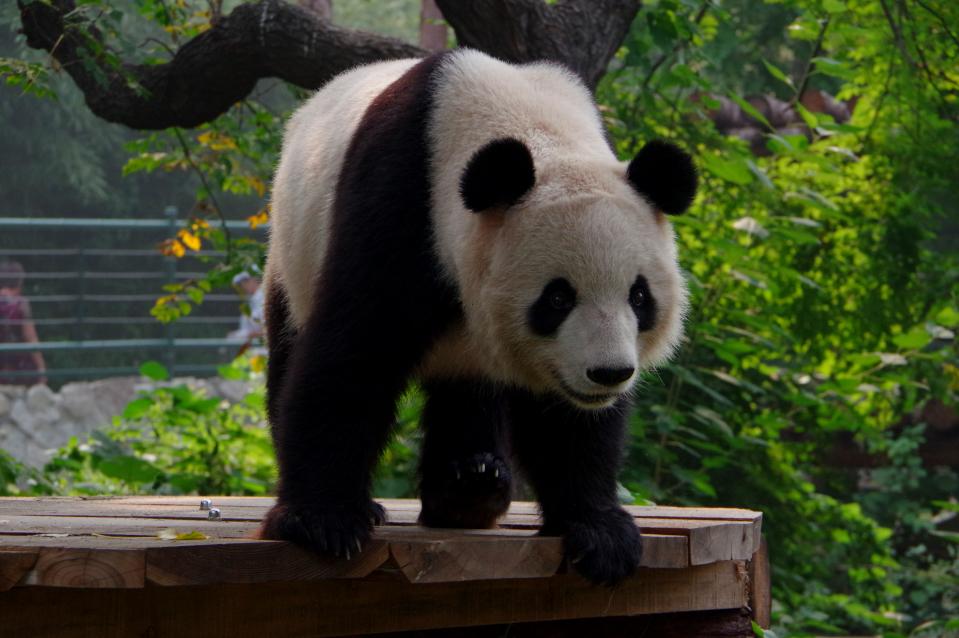 beijing-zoo-panda2