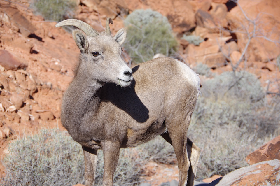 valley-of-fire-goat